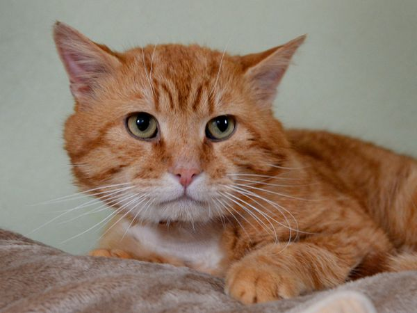 Kats Cradle, Wolverhampton, have rescued a ginger Tom from Cannock