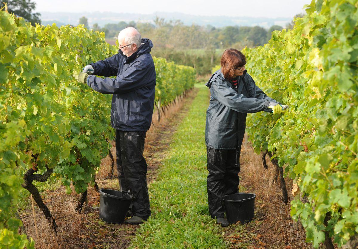 Alison Bennett and husband Peter Bennett picking at Halfpenny Green Vineyards