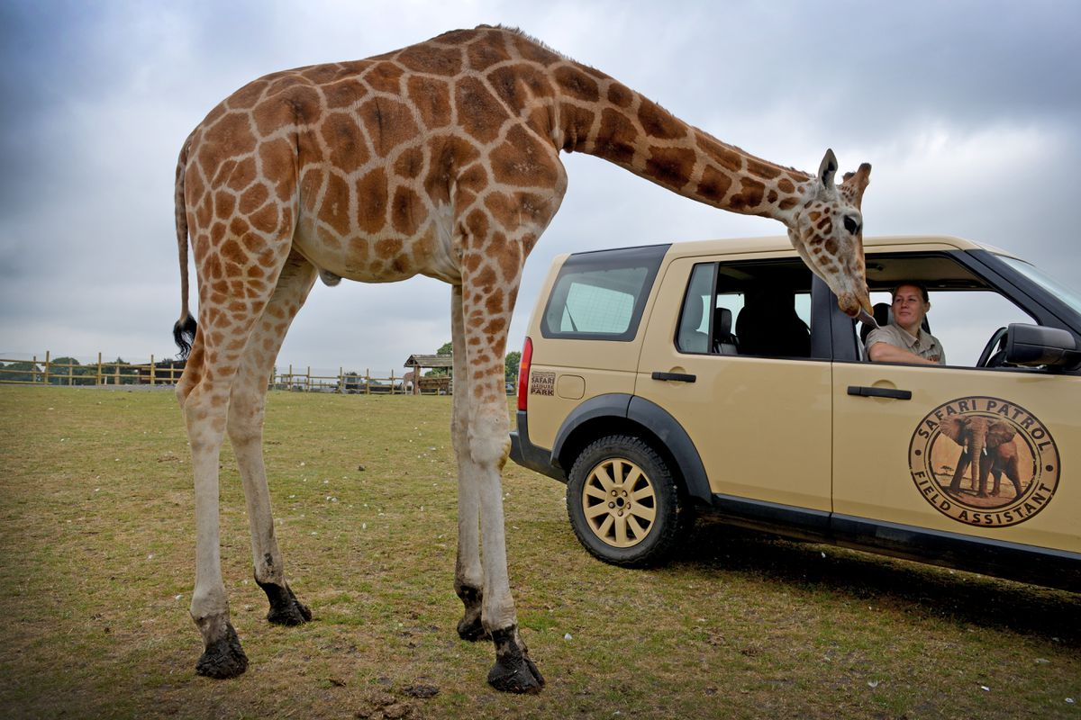 West Midland Safari Park head keeper Lisa Watkins checks in on one of the younger giraffe