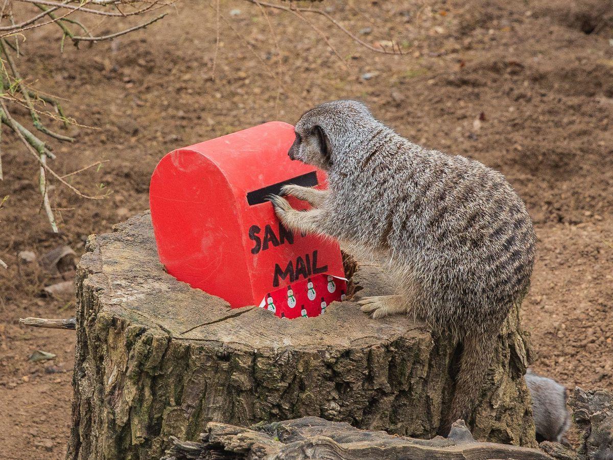A meerkat 'posts a letter' to Santa