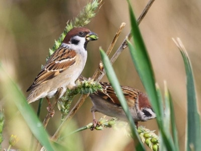 Rare tree sparrows make comeback at former colliery nature reserve