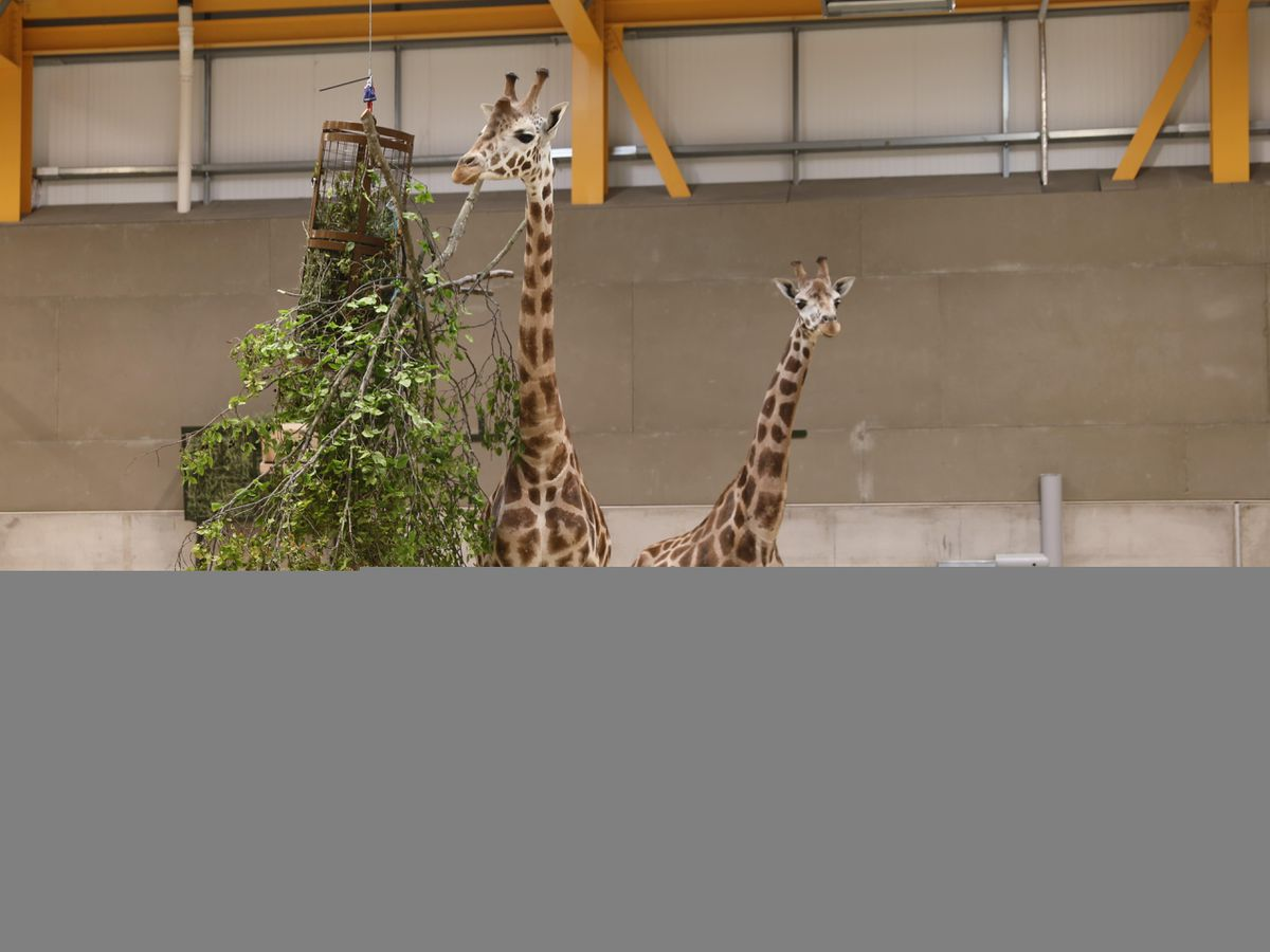 Male giraffes called Ronnie and Arrow