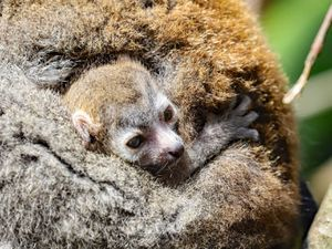 Crowned lemur baby born at Newquay Zoo