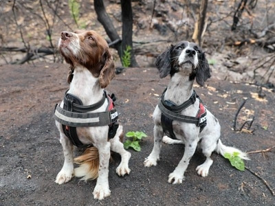 Trained spaniels have found seven surviving koalas after Australian wildfires