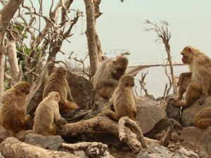 A group of macaques sitting together and grooming at Cayo Santiago in Peurto Rico.