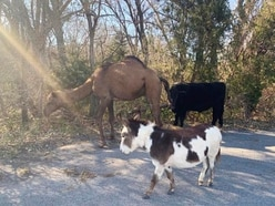 Camel, cow and donkey found roaming together along road