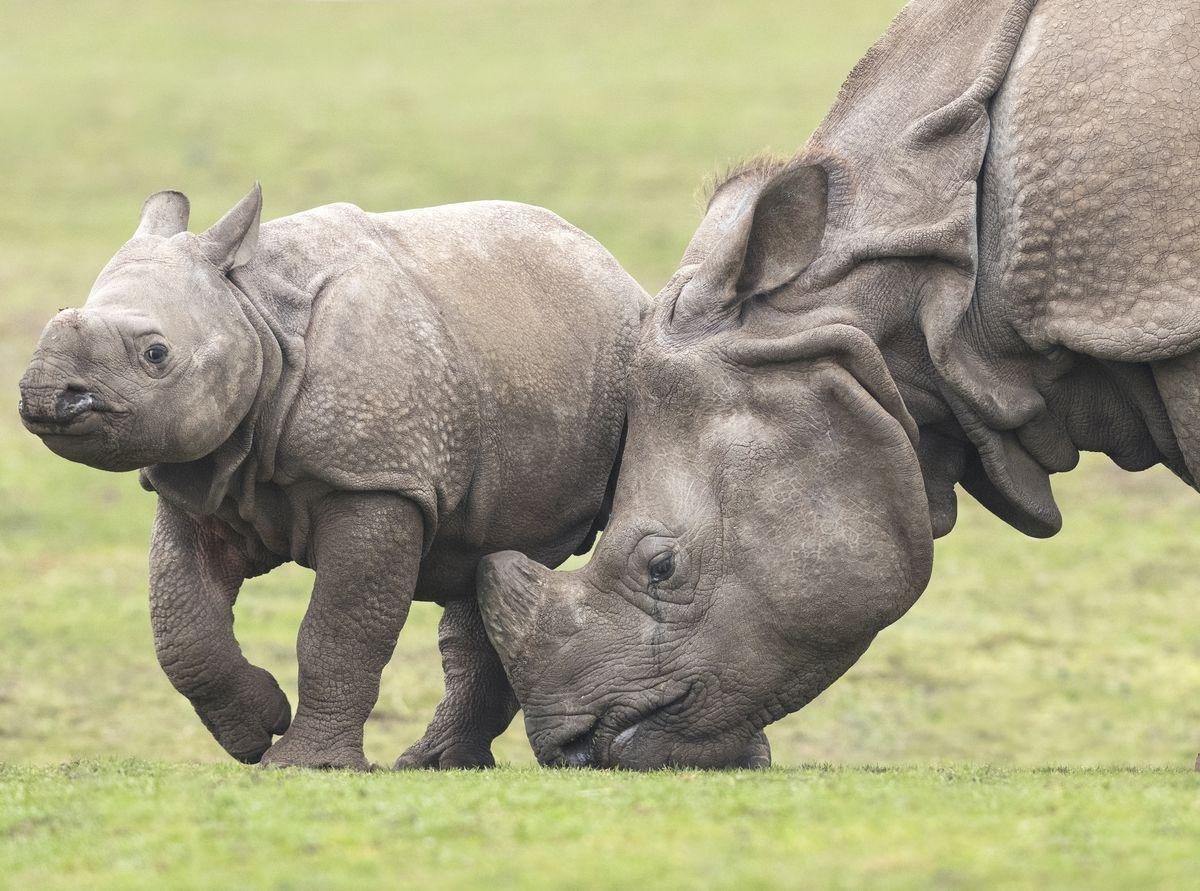 Inesh and Seto, the Indian rhinos at West Midland Safari Park