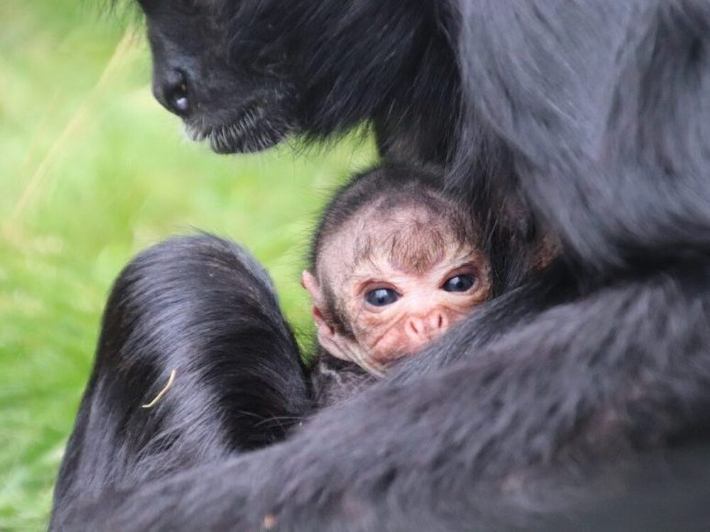 Visitors witness surprise arrival of endangered spider monkey at Dudley Zoo