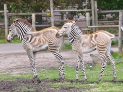 It's Grace and Gamba! West Midland Safari Park zebras named