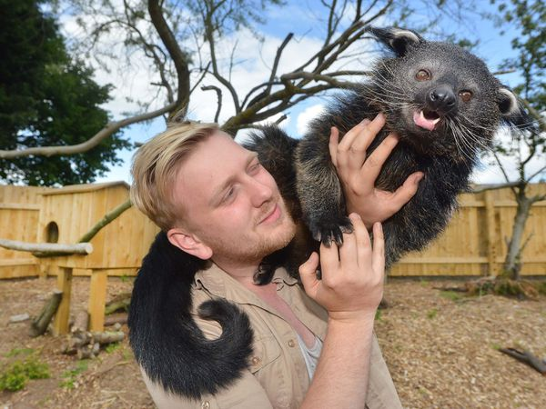 WOLVERHAMPTON COPYRIGHT EXPRESS AND STAR STEVE LEATH 24/05/2016  Pics at Halfpenny green Vineyards where the new Wild Zoological Park is currently being bulit, to open this summer.   Director: Zachary Hollinshead from Pattingham with Baloo (Palawan Binturong)..