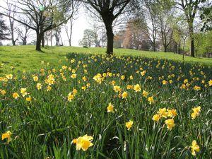 Daffodils in bloom at Brinton Park in Kidderminster