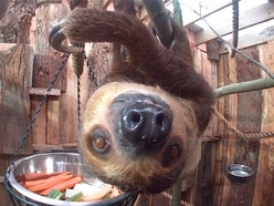 Reggie the sloth is Dudley Zoo's most popular animal