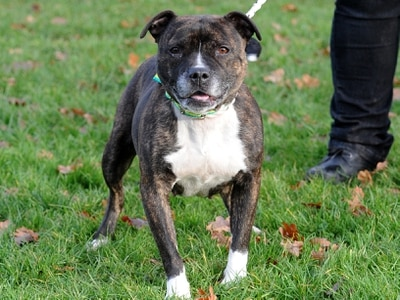 Thousands sign pro-Staffie petition after call for dog breed to be banned
