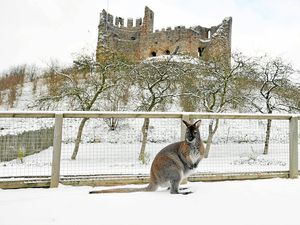 A red neck wallaby gets used to the snowy conditions at Dudley Zoo as 2010 brought wintry weather to the region in the coldest winter since records began