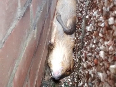 Oh deer! Young muntjac has to be rescued after falling from roof