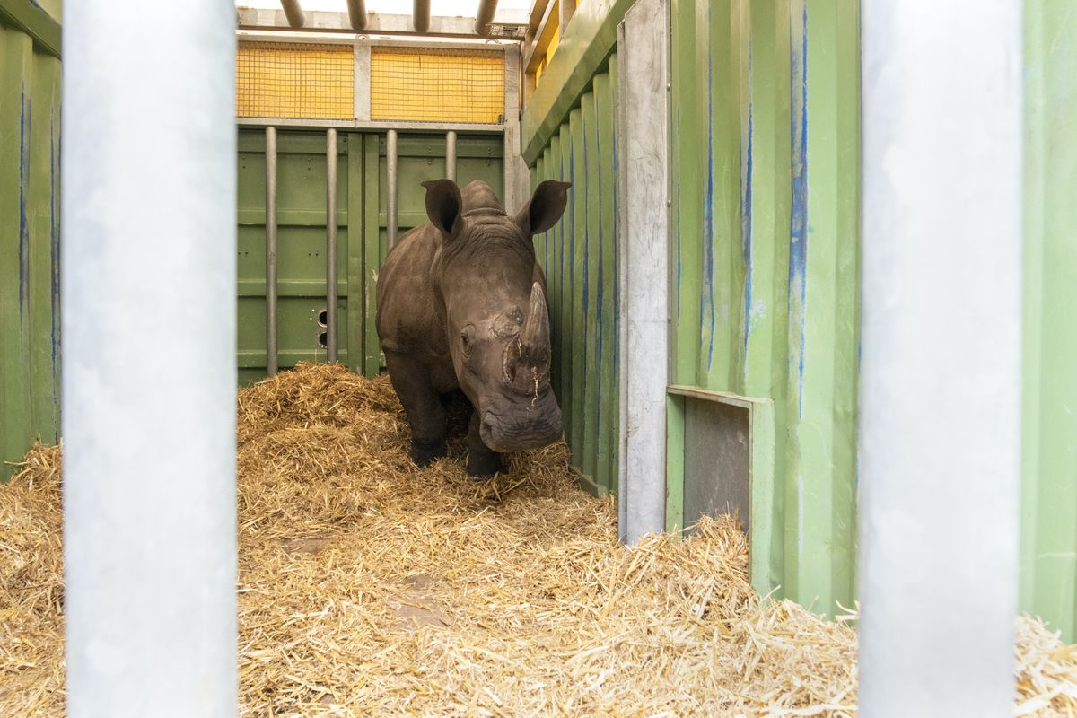Ekozu in his crate leaving West Midland Safari Park