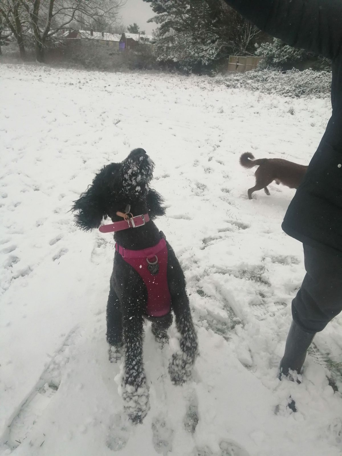 Raven the dog catching snowballs in Parkfields, Wolverhampton. Photo: Layla Duncombe