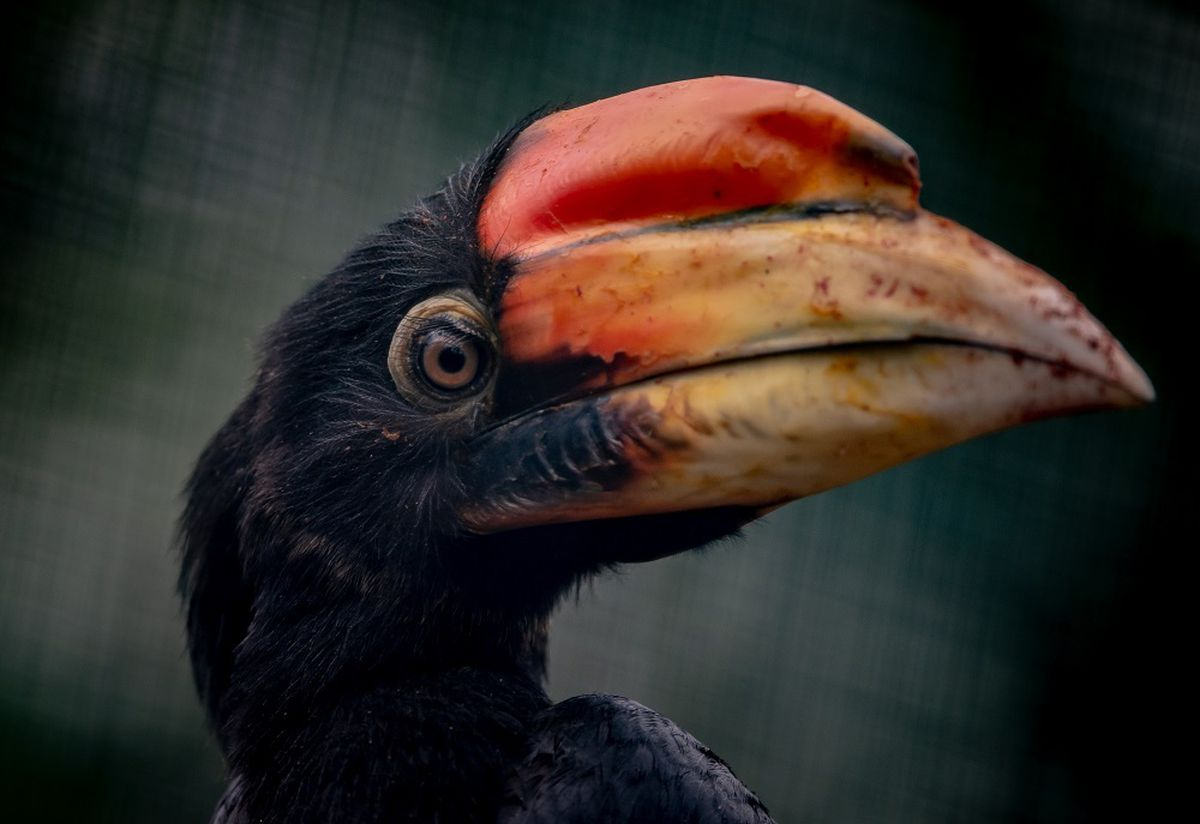 A rare hornbill at Chester Zoo