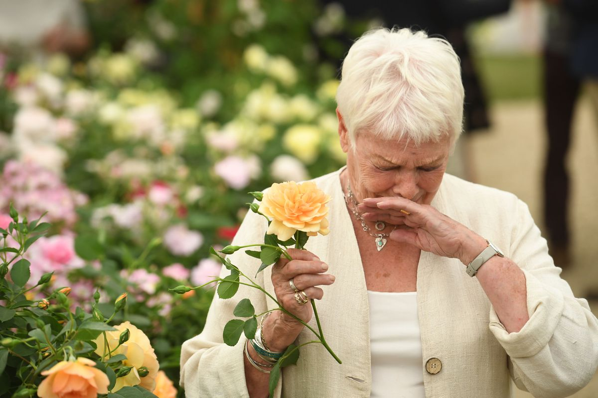 Dame Judi Dench holds an apricot rose named after her