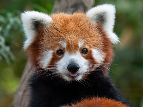 Red pandas could be introduced at West Midland Safari Park under new plans