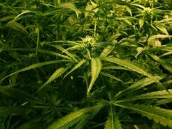 Drugs farmer caught growing £80k worth of cannabis locked up