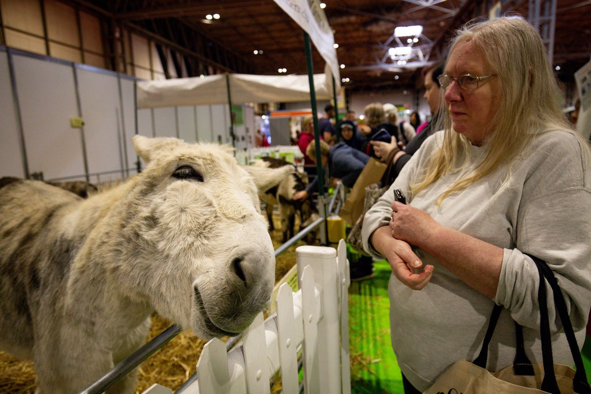 Donkeys on show at the National Pet Show at the NEC, Birmingham. PA Photo. Picture date: Sunday November 3, 2019.  Photo credit should read: Jacob King/PA Wire.