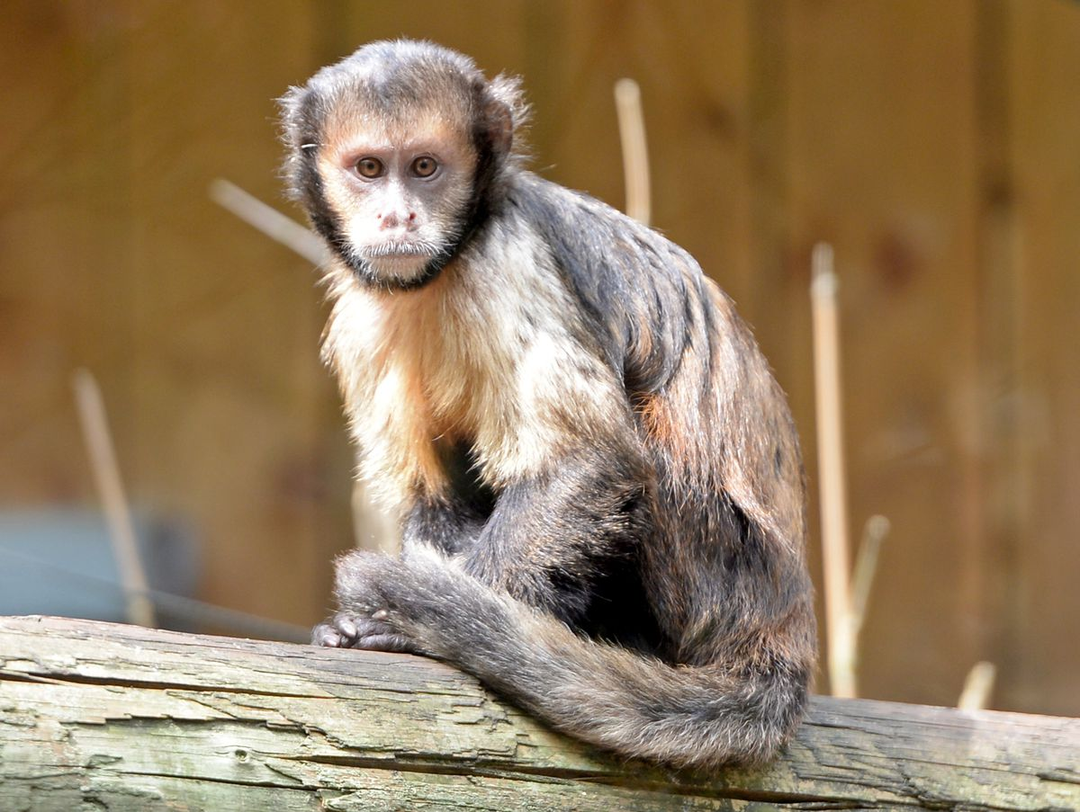 You can see capuchin monkeys at Dudley Zoo. One is also kept in private in Sandwell.