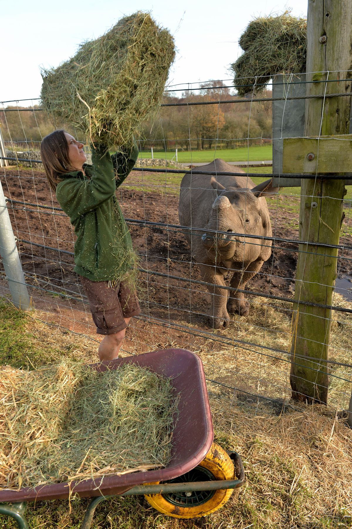 Feeding time at West Mids Safari Park. Laura McGeachan with Asian Rhino Sunny.