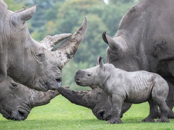 WATCH: Baby rhino Granville meets friendly giraffes on first day out