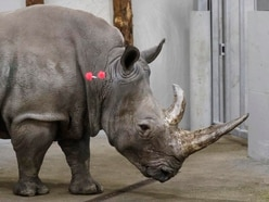 Scientists transfer first test tube rhino embryo