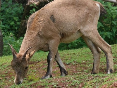 'Horned beast' back at zoo after escape into woods