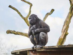 Shufai, a Western lowland gorilla at Twycross Zoo
