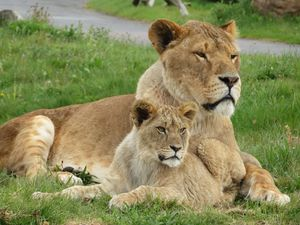 Keepers at West Midlands Safari Park have shared new pictures of the lion cubs