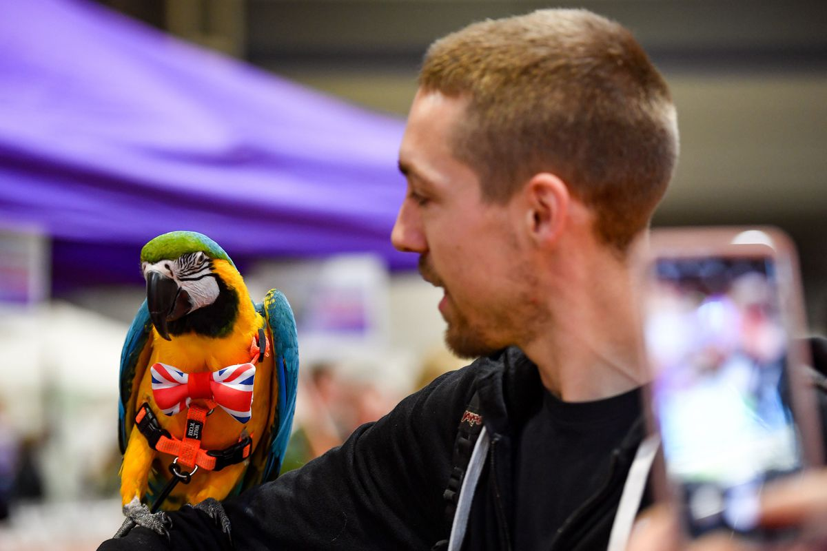 A parrot wearing a Union Jack bowtie at the National Pet Show at the NEC, Birmingham. PA Photo. Picture date: Sunday November 3, 2019.  Photo credit should read: Jacob King/PA Wire.