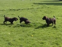 These incredibly cute spaniel puppies have started their police dog training