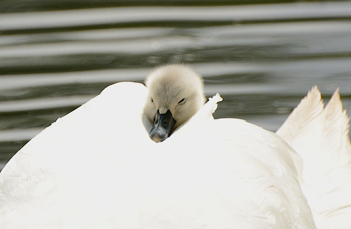 A three-day-day old cygnet hitches a ride at Sandwell Valley. Photo by Julia Moyse/Jewels in Nature.