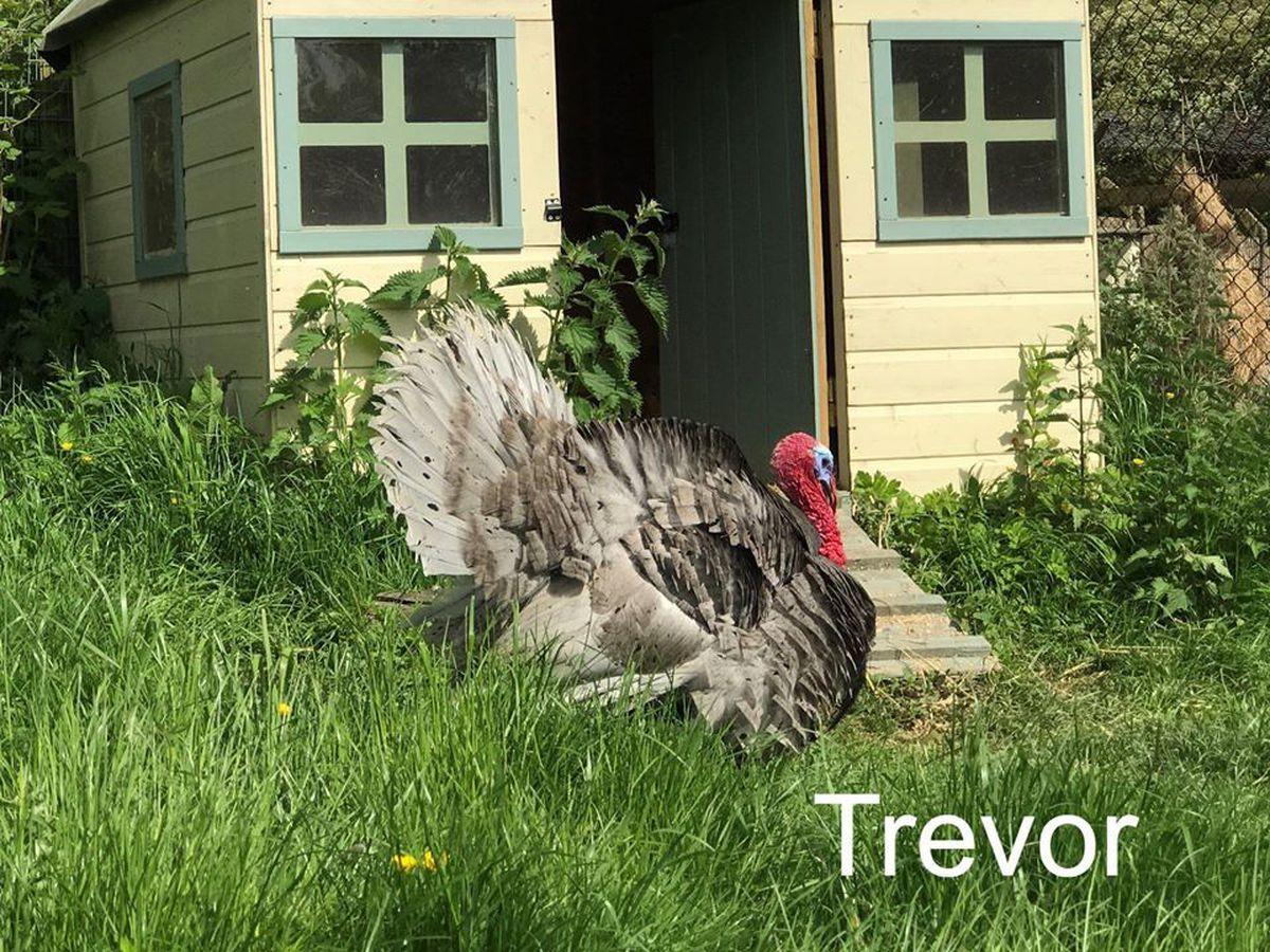 Trevor the turkey was also taken by thieves