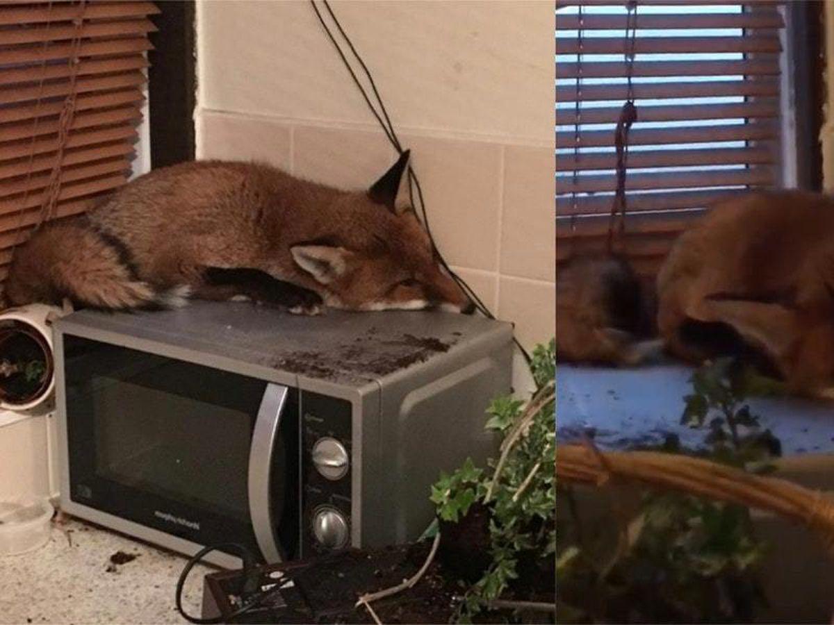 Fox asleep on a microwave