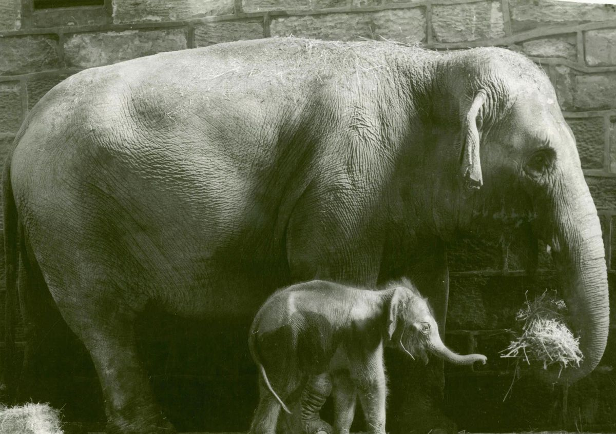 1977 - Chester became the first zoo in the UK to successfully breed endangered Asian elephants. The first to be born was a calf who was later to be named Jubilee by viewers of the BBC's TV show, Blue Peter.