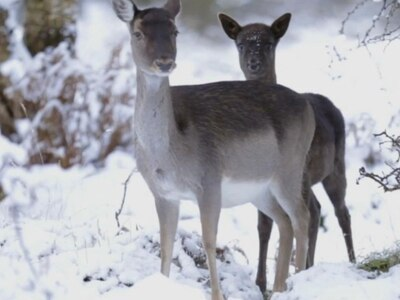 WATCH: Wildlife video captures snowy beauty of Cannock Chase