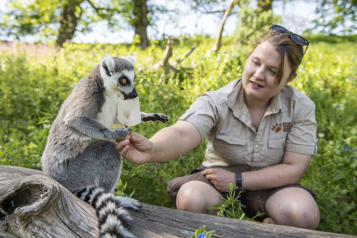 Cafu the ring-tailed lemur enjoys an ice lolly treat for the hot weather with her keeper Jen Albutt