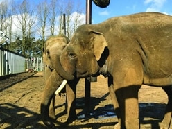Zoo's elephant pregnancy hopes as new Asian male 'smitten' with female herd