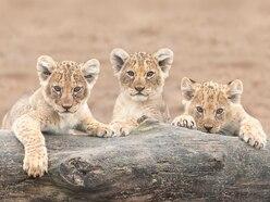 Seven African lion cubs born at West Midland Safari Park