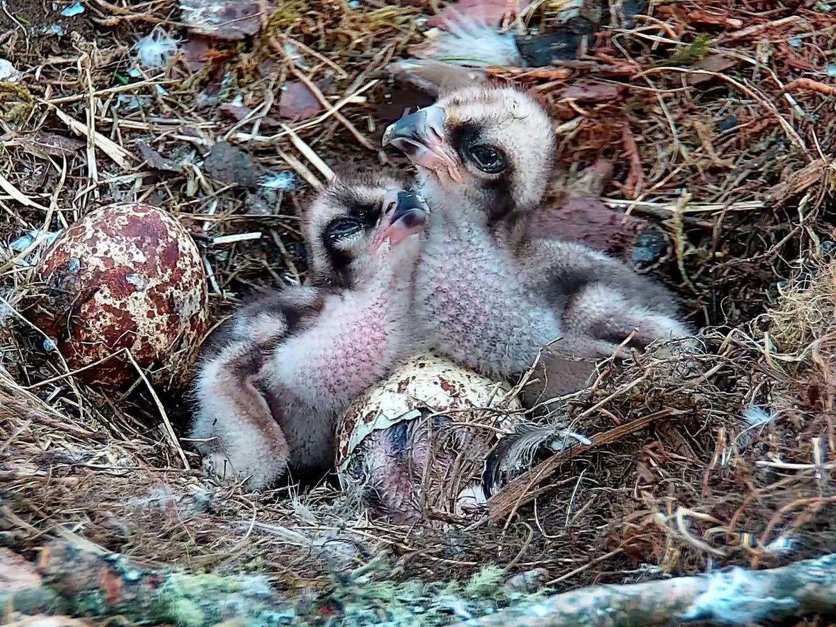 Three chicks in a nest