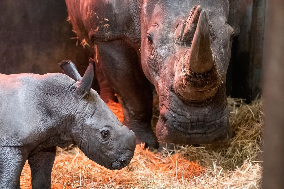 The birth is West Midland Safari Park's fourth white rhino to be born at the park