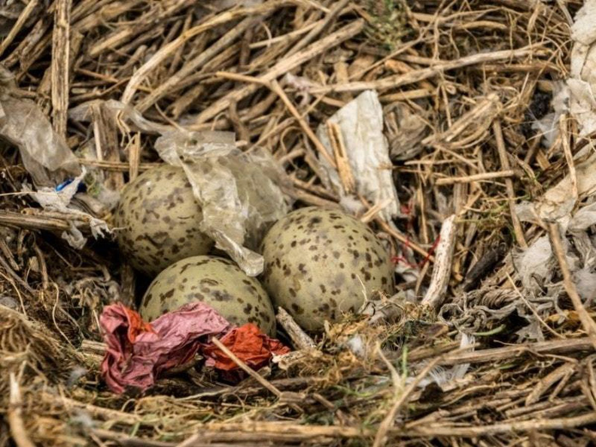 A herring gull nest with plastic
