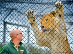 Lions, tigers and painted dogs: Life in charge of the carnivores at West Midland Safari Park