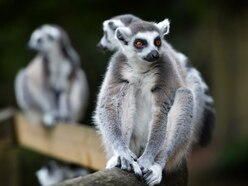 Father banned for picking up lemur, goat and giant rabbit at Dudley Zoo