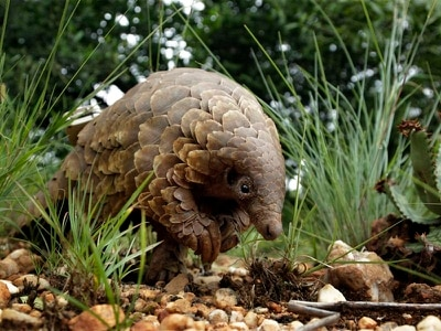 Activists bid to protect endangered creatures on World Pangolin Day