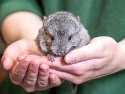 West Midland Safari Park celebrates birth of three baby endangered chinchillas